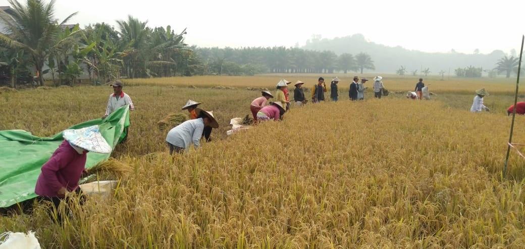 Dinas Pertanian Perikanan dan Ketahanan Pangan (DPPKP) melakukan Panen Padi Demplot Varietas Unggul Bersertifikat, Di Lagon Desa Keranji Pakedang, Kecamatan Sengah Temila, Senin (16/09/2019)