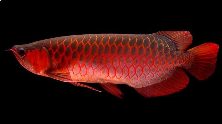 Ikan Arwana/net